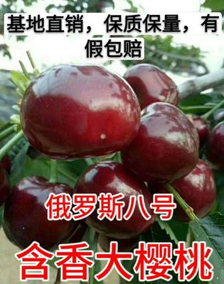 这是一张关于俄罗斯8号樱桃苗 的产品图片