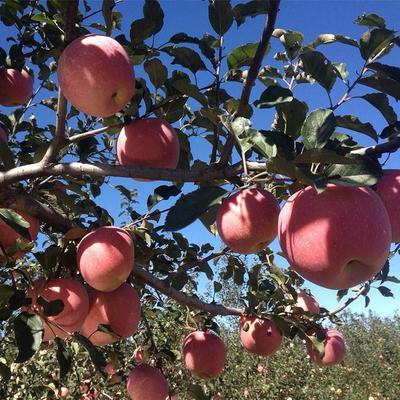 山东省临沂市平邑县红富士苹果苗 1.5~2米