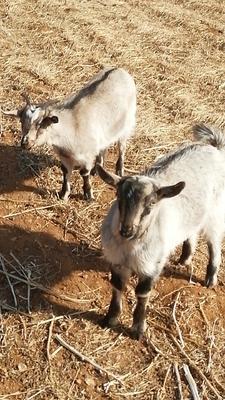 这是一张关于奶山羊 30-50斤 的产品图片