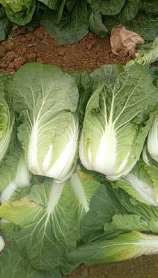 这是一张关于阳春白菜 2~3斤 二毛菜 的产品图片