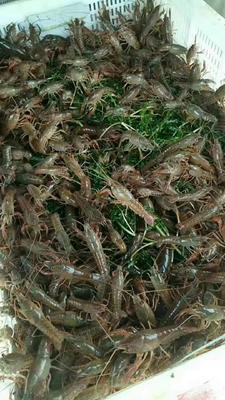 广西壮族自治区桂林市象山区小龙虾苗