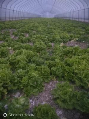 安徽省宿州市埇桥区散叶生菜 3~4两