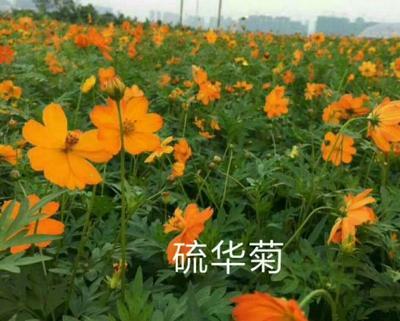 这是一张关于硫花菊种子 的产品图片