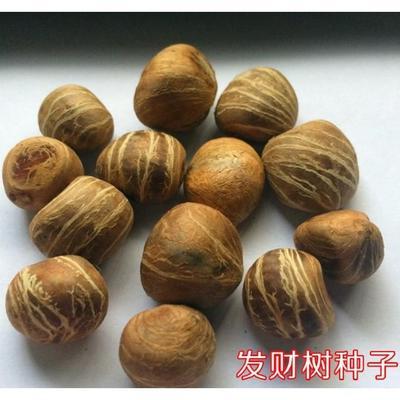 这是一张关于辫子发财树 的产品图片