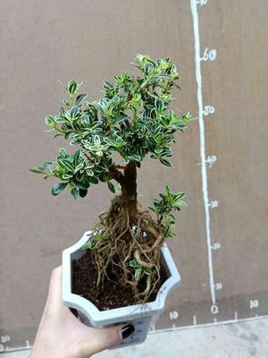 这是一张关于六月雪盆栽 的产品图片