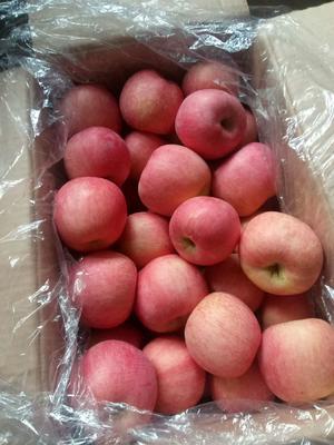 山东省淄博市沂源县红富士苹果 65mm以上 片红 纸袋