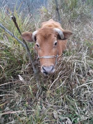 这是一张关于黄牛 800-1000斤 母牛 的产品图片