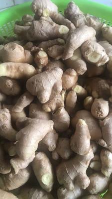 这是一张关于小黄姜 6两以上 带土 的产品图片