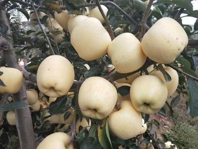 这是一张关于维纳斯黄金苹果苗 1~1.5米 的产品图片