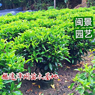 福建省漳州市漳浦县非洲茉莉 高50到60厘米