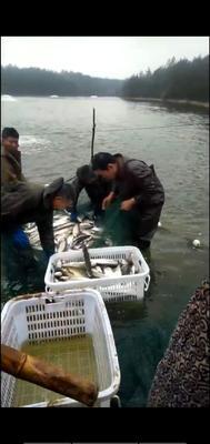 这是一张关于丹江翘嘴鲌 人工养殖 1-1.5公斤 的产品图片
