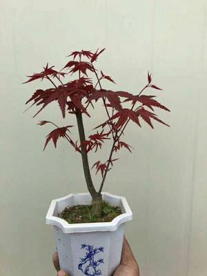 广东省广州市荔湾区美国红枫/红花槭