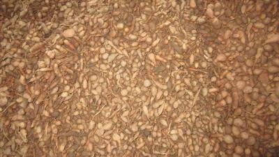 这是一张关于金果榄  一到两百颗每公斤规格的产品图片