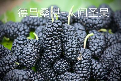 四川省凉山彝族自治州德昌县德昌桑葚 3 - 4cm