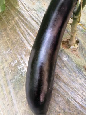 陕西省延安市安塞县765长茄 15cm以下 长茄
