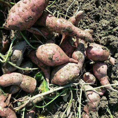 这是一张关于红薯粉丝 的产品图片