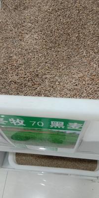 江苏省宿迁市沭阳县冬牧70种子