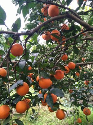 这是一张关于奉节草堂脐橙 65 - 70mm 4-8两 的产品图片