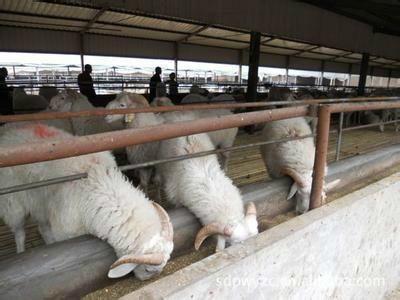 内蒙古自治区赤峰市敖汉旗波尔山羊 80-110斤