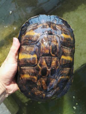 广东省茂名市电白区中华草龟  火焰种龟