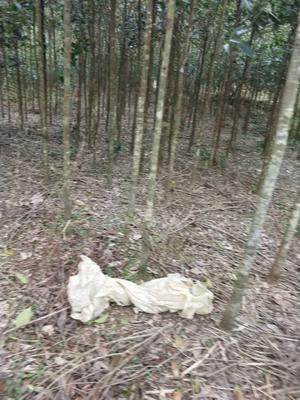 广西壮族自治区柳州市融安县桂花树  大量特价销售金桂树苗