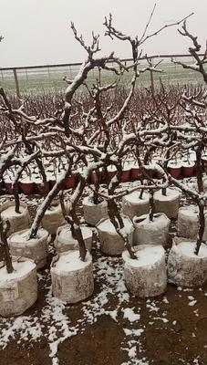 这是一张关于果树盆景 的产品图片