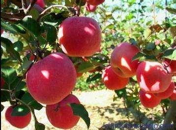 山东省枣庄市滕州市红富士苹果 90mm以上 条红 纸袋