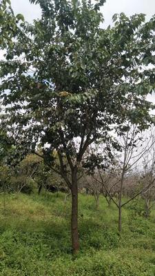 这是一张关于云南樱花 5米以上 16~18公分 的产品图片