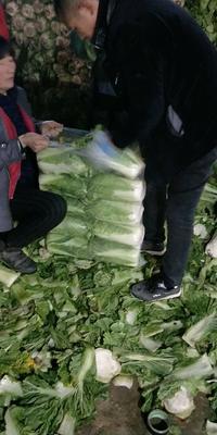 河北省唐山市乐亭县北京新三号 3~6斤 净菜