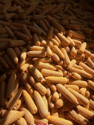 云南省文山壮族苗族自治州砚山县玉米干粮 杂质很少 水份<14%