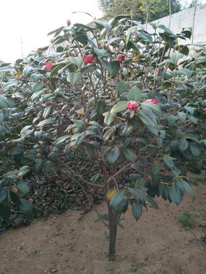 这是一张关于茶花糸列耐冬 10~20cm 的产品图片