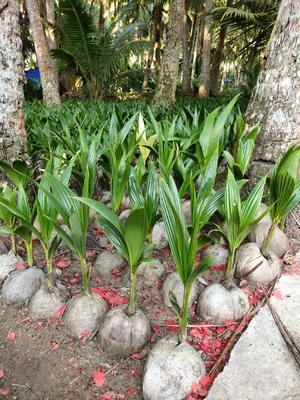 海南省海南省文昌市高种椰子树