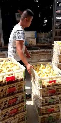 这是一张关于泰州白鹅鹅苗 的产品图片