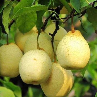 这是一张关于黄金梨树苗 1~1.5米 的产品图片