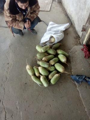 河南省开封市通许县青萝卜 1.5~2斤