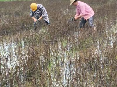 这是一张关于古罗子国原生态紫米 的产品图片