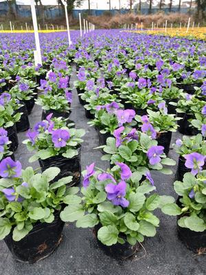 这是一张关于角堇种子  角堇天蓝,黄色,橙色的产品图片