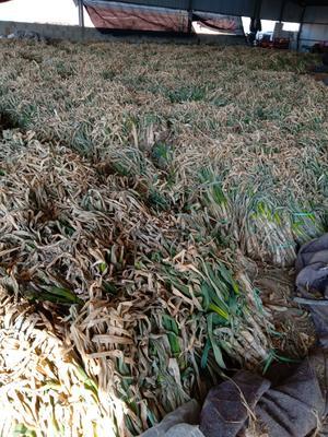 山东省青岛市平度市铁杆大葱 30~50cm 毛葱