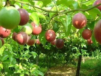 广西壮族自治区玉林市北流市紫红色百香果 50 - 60克