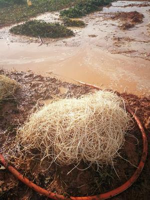 这是一张关于白茎鱼腥草 的产品图片