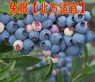 这是一张关于兔眼蓝莓苗 的产品图片