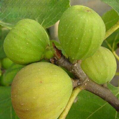这是一张关于青皮无花果树苗 的产品图片