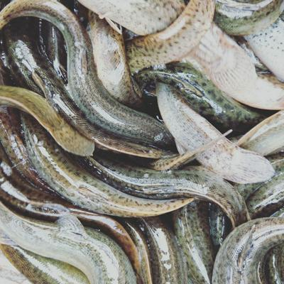 四川省宜宾市高县台湾泥鳅 人工养殖 3-5cm 35尾/公斤