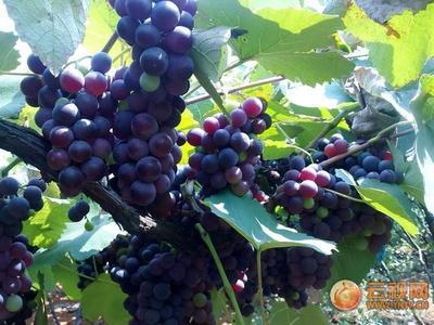 云南省红河哈尼族彝族自治州弥勒市酿酒葡萄 0.4-0.6斤 10%以下 1次果