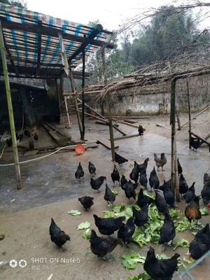 湖南省常德市汉寿县土鸡 3-4斤 统货