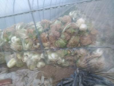 这是一张关于大头白菜 2~3斤 净菜 的产品图片