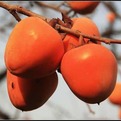 这是一张关于牛心柿苗 的产品图片
