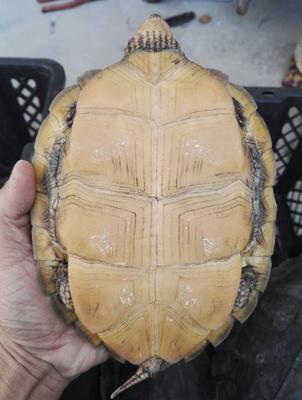 这是一张关于巴西龟  齿缘老种龟的产品图片