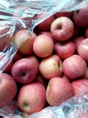 陕西省渭南市蒲城县红富士苹果 70mm以上 条红 纸袋