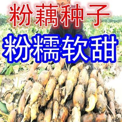 江西省南昌市南昌县南斯拉夫雪莲藕种 水洗藕